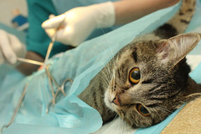cats castration