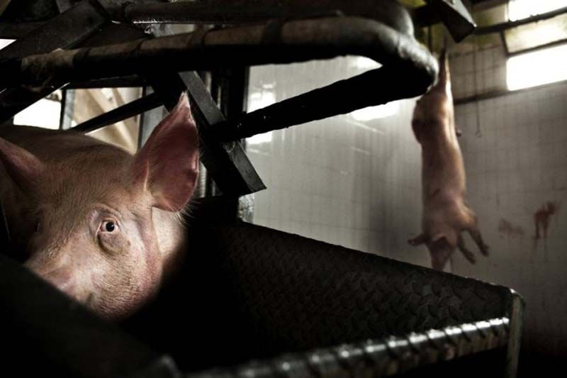 pig in slaughterhouse2