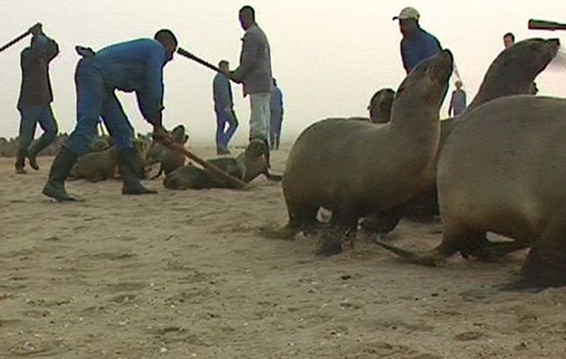 namibia seal hunting