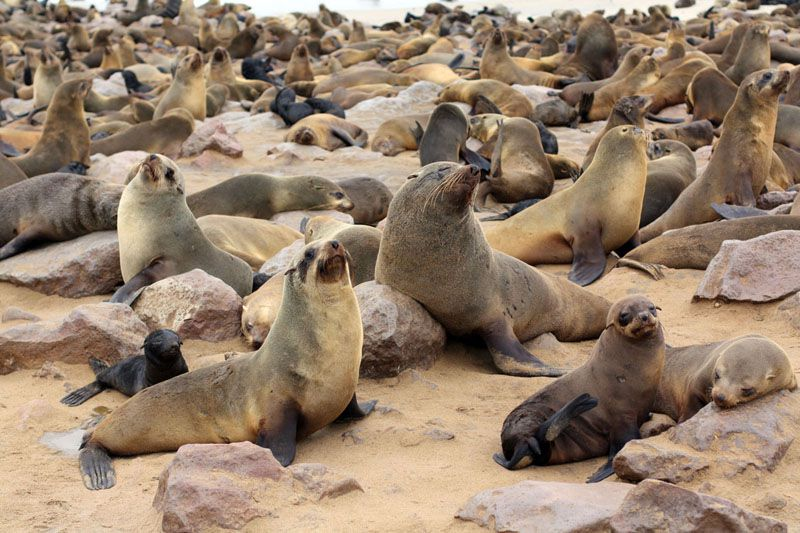 namibia seals2