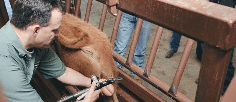 calf castration2