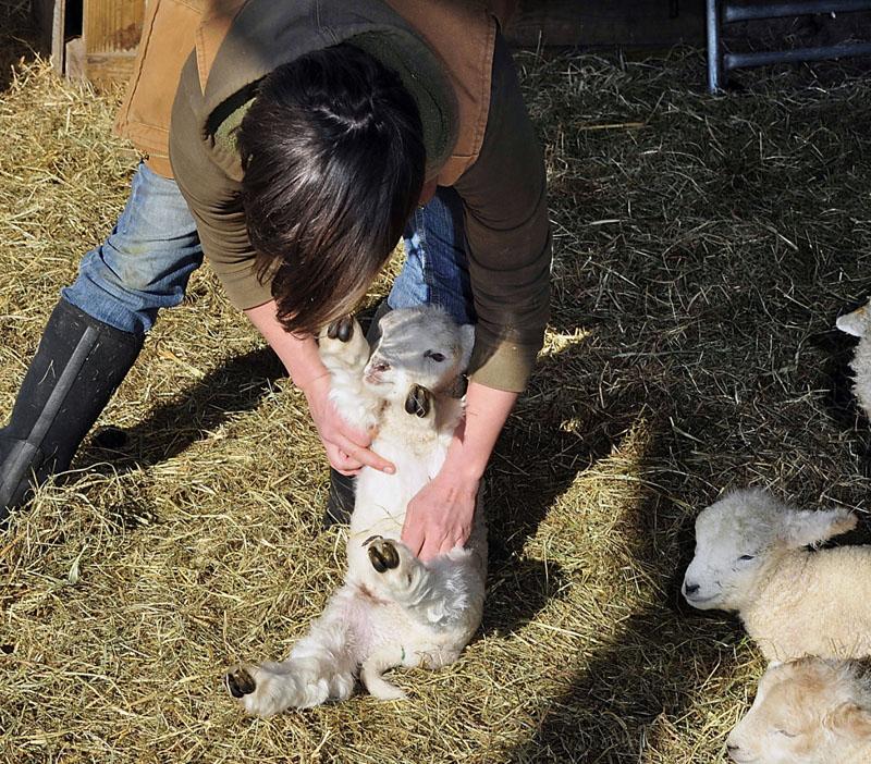 lamb castration 1