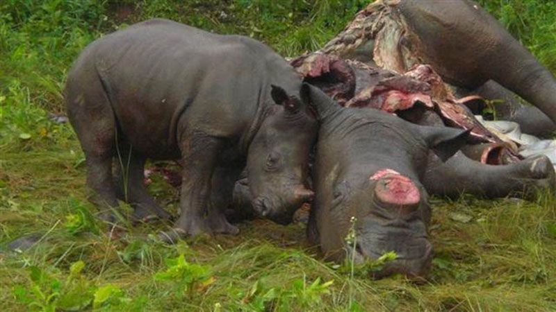 poached rhino with baby